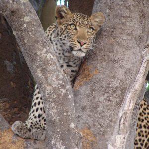 leopard-wildness-safari-tanzania