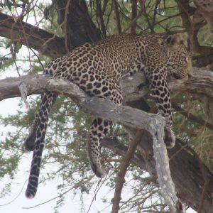 leopard-mikumi-wildness-safari-tanzania
