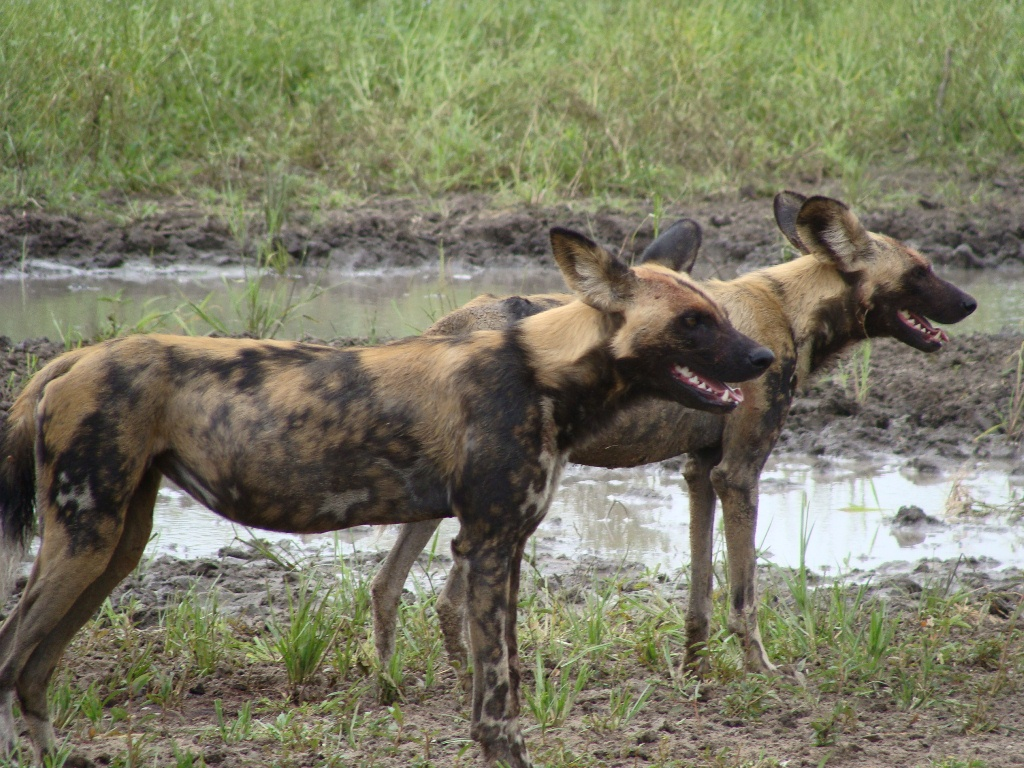 Selous Game Reserve with endangered wild dogs