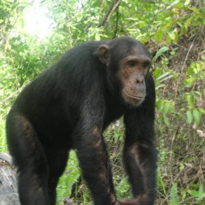 chimpanzee-at-gombe-with-wildness-safari-tanzania