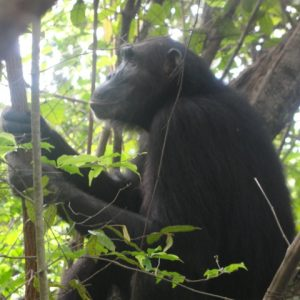chimpanzee-at-mahale-with-wildness-safari-tanzania